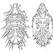 Two new Oribatid mites from Costa Rica, <i>Mixacarus turialbaiensis</i> sp. n. and <i>Paulianacarus costaricensis</i> sp. n. (Acari, Oribatida, Lohmanniidae)