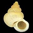 A review of the land snail genus <i>Alycaeus</i> (Gastropoda, Alycaeidae) in Peninsular Malaysia