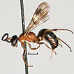 Discovery of the genus <i>Nipponodipogon</i> Ishikawa in the Oriental region, with description of two new species from China (Hymenoptera, Pompilidae)