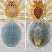 Three new species of <i>Pinelema</i> from caves in Guangxi, China (Araneae, Telemidae)