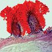 <i>Nipponnemertes incainca</i> sp. n. Adoption of the new taxonomic proposal for nemerteans (Nemertea, Cratenemertidae)