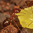 Revision of the ant genus Melophorus ...
