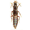 Revision of Hemiquedius Casey (Staphylinidae, ...