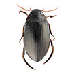 A revision of Meladema diving beetles ...