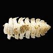 Three new cavernicolous species of the ...