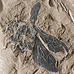 An Early Miocene bumble bee from northern ...