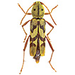 A new species of Xylotrechus Chevrolat ...