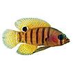 More new deep-reef basslets (Teleostei, ...