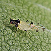 New records of an alien aphid species ...