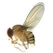 The genus Scaptodrosophila Duda part ...