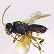 A new species of Chelonus (Areselonus) ...