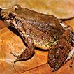 Leptodactylus validus Garman, 1888 in ...
