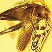 A new Acartophthalmites Hennig from Eocene ...