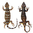A new species of knob-scaled lizard (Xenosauridae, ...