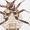 Two new species of the genus Aphis (Hemiptera, ...