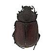 Description of a new species of Coelosis ...