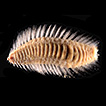 A new species of the rare, deep-sea polychaete ...