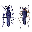 Four new species of Fissocantharis Pic, ...