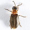 Oculogryphus chenghoiyanae sp. n. (Coleoptera, ...