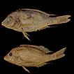 Trematocranus pachychilus, a new endemic ...