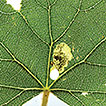 The leaf-mining genus Antispila Hübner,  ...