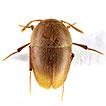 Ptomaphaginus troglodytes sp. n., the ...