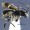 A taxonomic study of Costa Rican Leptodrepana ...
