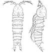 New species of the genus Mesocletodes ...