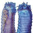 Three new species of Thelepus Leuckart, ...