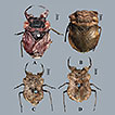Notes on some toad bugs from China (Hemiptera, ...