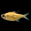 A new species of Hyphessobrycon Durbin ...