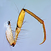 Description of the larva of Oecetis mizrain ...