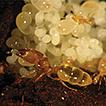 Taxonomy of the ant genus Carebara Westwood ...