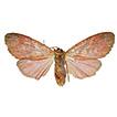 Barsine podbolotskayae sp. n. from Flores ...