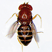 Five new species of Drosophila guarani ...