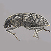 Purealus beckelorum, a new genus and ...