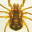 Rediscovery of Lobonychium palpiplus ...
