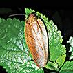 Establishment of a new genus, Brephallus ...