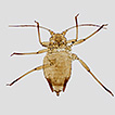 Ericaphis voegtlini, a new, unusual aphid ...