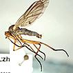 Empidinae (Diptera, Empididae) from Bulgaria ...