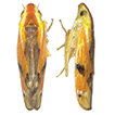Review of the bamboo-feeding leafhopper ...