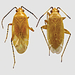 Henryognathus thomasi, a new genus and ...