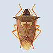 Review of the Neotropical genus Rhyncholepta ...