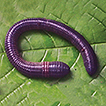 "Three new ""caecate"" earthworm species fro ..."