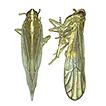Parasogata gen. n., a new genus of the ...