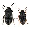 Revision of the genus Cephalobyrrhus ...