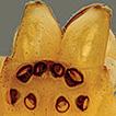 Gnathopalystes aureolus (He & Hu, ...