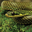 A new species of Erythrolamprus from ...