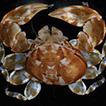 A new species of Polyonyx (Crustacea, ...