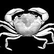 A collection of crabs (Crustacea, Brachyura) ...